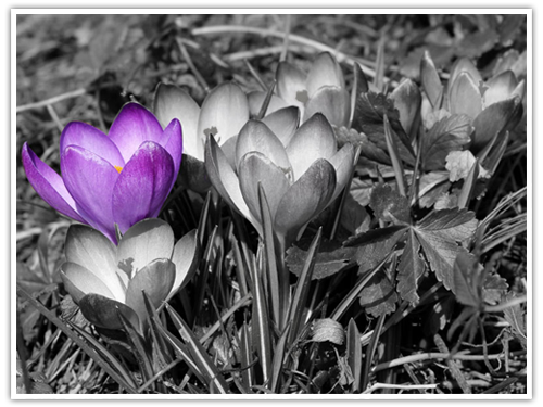 Krokusse ColorKey