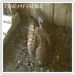 Webcam Turmfalke